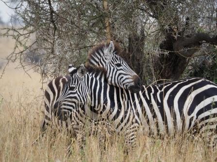 Zebra hug!
