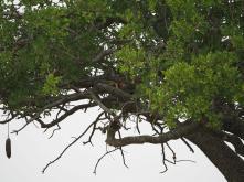 Impala in the tree
