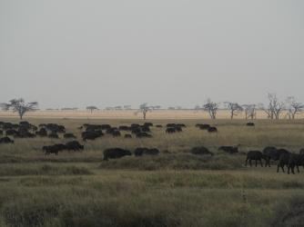 Buffalo walking!