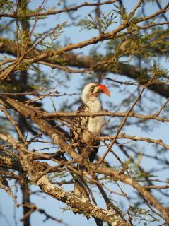 Hornbill at camp