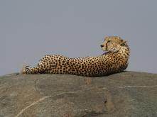 I love cheetahs!