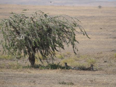 More cheetahs!