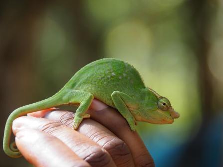 Female chameleon