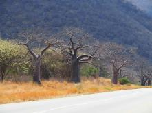 Lots and lots of baobab trees!