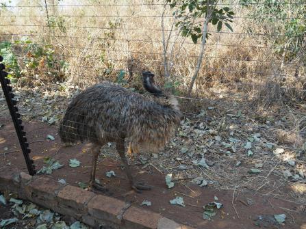 An emu!