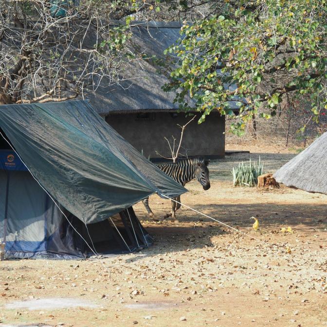Zebra walking through camp
