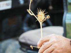 This plant has hallucinogenic seeds
