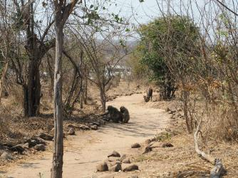 Baboons on the path to lunch!