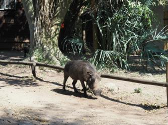 Warthog in the grounds