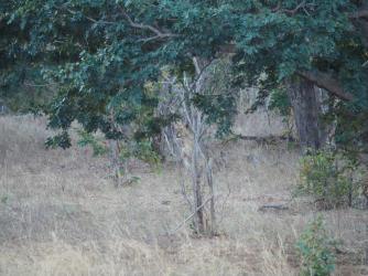 Lion behind bush