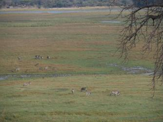 Crossing Chobe to get into Namibia, zebras grazing nearby