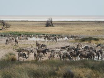 Endless procession of zebra